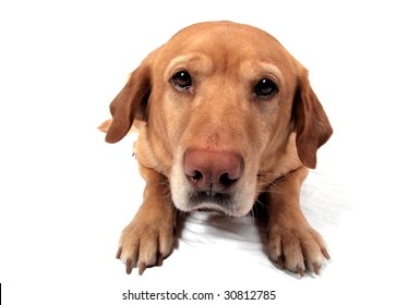 A Golden Lab in front of a white background being silly.