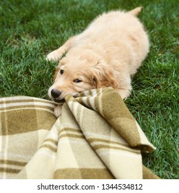 Golden lab labrador retriever dog chewing on blanket. Cute, mischievous, funny, young puppy. Bad pet behavior animal training concept.