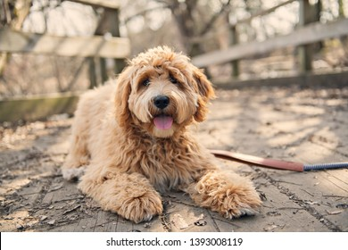 Golden Labradoodle dog outside in fall season