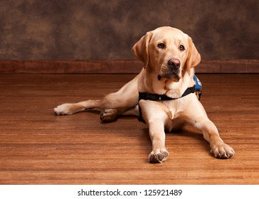 Golden Labrador laying on a wood floor.