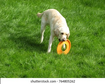 Golden labrador playing in a backyard on green grass in the daytime