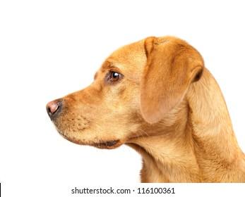 Golden Labrador Profile Isolated On White