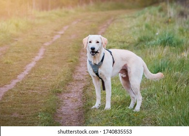 Golden labrador retriever dog on a forest playing with with a stick.