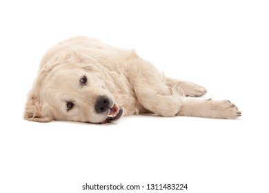 Golden Labrador Retriever isolated on white background