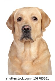 Golden labrador sitting in studio in front of the white background