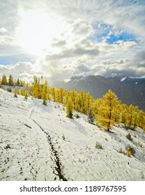 Golden larch and snow in fall on Mount Bruce, near Invermere in the Purcell Mountains, British Columbia Canada.