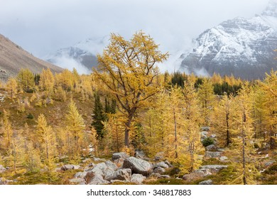 Golden Larches in Banff National Park