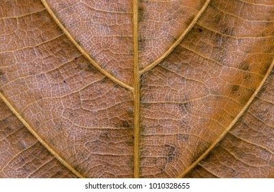 Golden leaf closeup. Autumn leaf texture macro photo. Dry yellow leaf vein pattern. Tree leaf surface. Fall season banner template. Leafy structure macrophoto. Autumn nature detail. Dry vein ornament