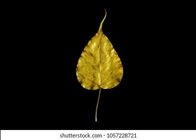 Golden leaf / Gold Sacred fig leaf. Isolated on bLack background.