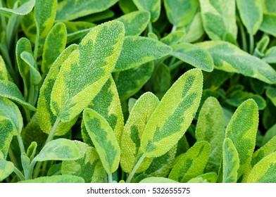 Golden leaf sage herb spice tea plant icterina officinalis salvia lamiaceae closeup