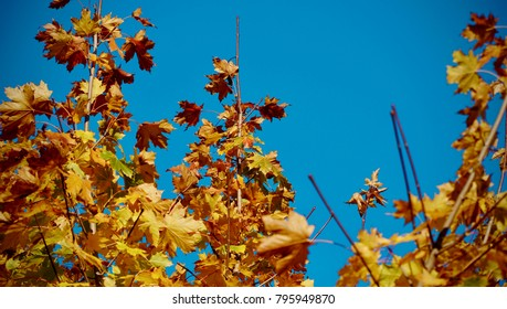 Golden leaves against a blue sky