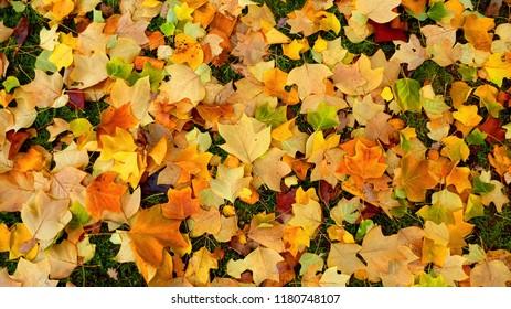 Golden Leaves in Autumn