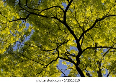 Golden leaves and branches of the Golden False Acacia tree.