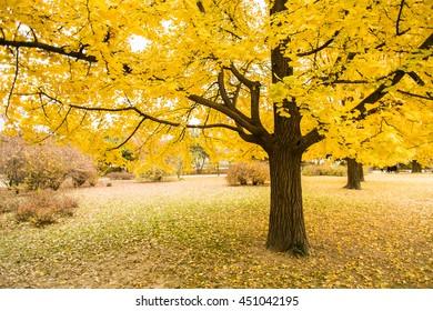 Golden leaves of gingko trees