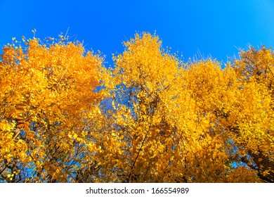 Golden leaves of gingko trees at autumn