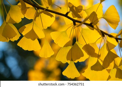 golden leaves on a gingko tree in autumn, Beijing, china