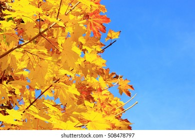 Golden leaves in tree, blue sky in background