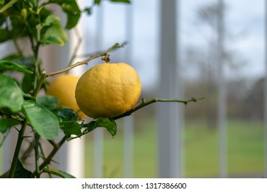 Golden lemon fruit on the branches