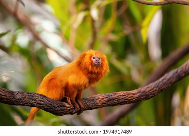Golden lion headed tamarin on a tree branch looking up at the sky