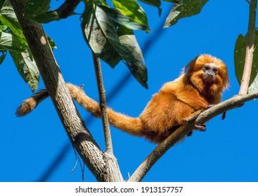 Golden Lion Tamarin in Brazil refuge