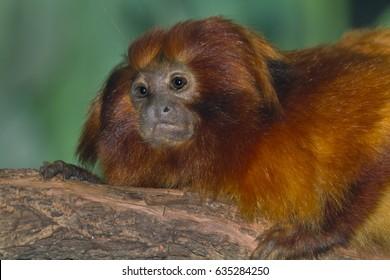 The golden lion tamarin, also known as the golden marmoset (Leontopithecus rosalia)