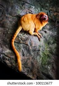 Golden Lion Tamarin, (Leontopithecus rosalia), endangered species.