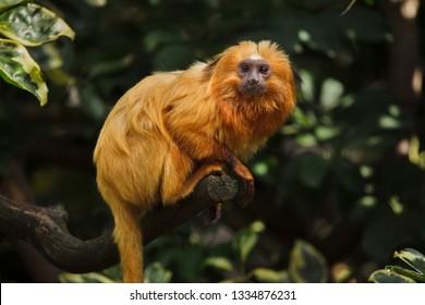 Golden lion tamarin (Leontopithecus rosalia), also known as the golden marmoset.