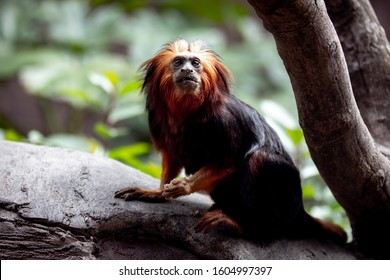 Golden lion tamarin. Leontopithecus rosalia, also known as the golden marmoset, is a small New World monkey of the family Callitrichidae. Native to the Atlantic coastal forests of Brazil