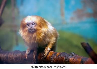 The golden lion tamarin (Leontopithecus rosalia)