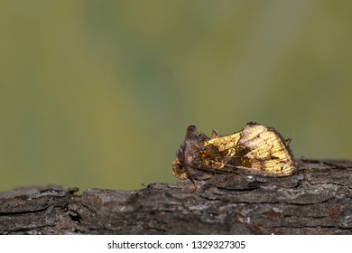 Golden Looper moth on tree bark displaying its small mohawk with a green nature background.
