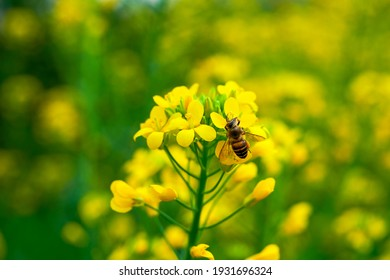 Golden lush blooming rapeseed, bees are collecting nectar