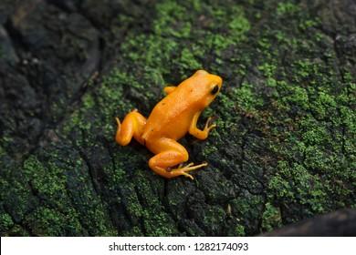 Golden mantella (Mantella aurantiaca). Wild life animal.