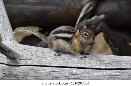Golden mantled ground squirrel standing on log, profile view, looking inquisitive and watchful.