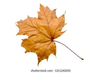 Golden maple leaf on white background