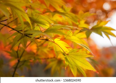 Golden Maple Leaves on a blurred autumn foliage background at Koko-en Garden in Himeji, Japan.