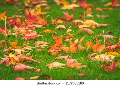 Golden maple leaves on a green lawn in the fall in warm colors