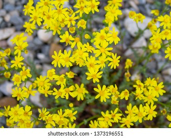 Golden Marguerite / Yellow Chamomile / Cota Tinctoria, close up
