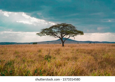 Golden meadows in the savanna fields, bright sky.trees in the middle of the field.With 1 tree in the meadow
