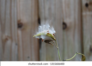 Golden Milkweed Seed Dispersal
