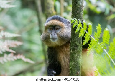 Golden monkey clinging to a tree in Volcanoes National Park, Rwanda