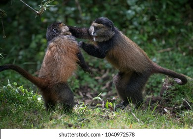 A golden monkey punches another monkey while playing in Volcanoes National Park, Rwanda
