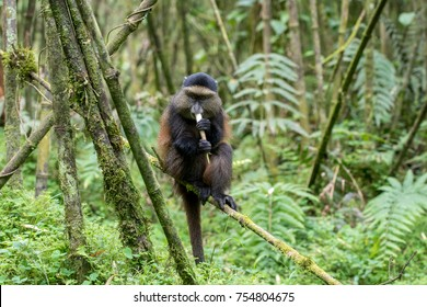 A golden monkey in in the wilderness of Volcanoes National Park in Rwanda