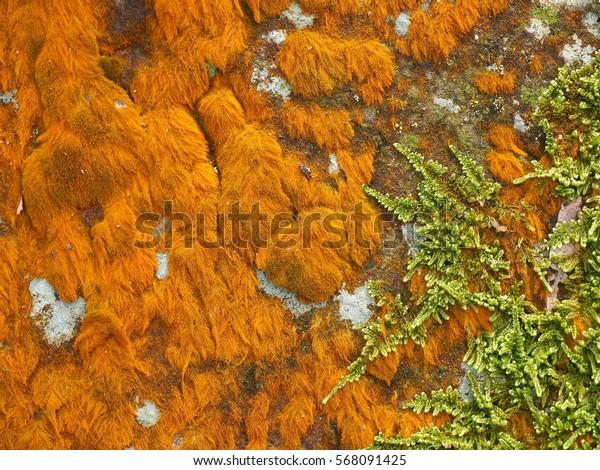 Golden moss on rock