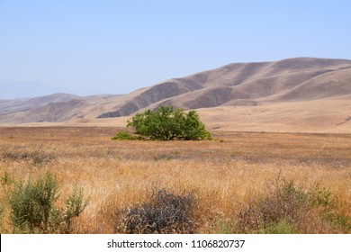 Golden mountains and a green tree, scenic views during summer season at Wind Wolves Preserve, Bakersfield, CA.