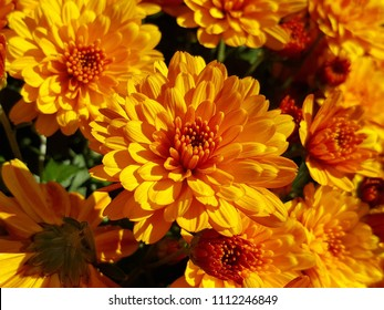 Golden orange Chrysanthemums in glorious bloom. Captured on a crisp sunny Fall morning. Autumn, 2017