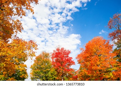 Golden, orange and red autumn foliage tree top leaves against blue sky and white clouds. Copy space.