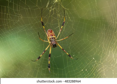 Golden Orb Spider in the Congaree National Park