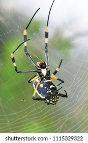 Golden orb spider.Kruger National park in South Africa