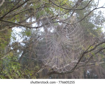 A golden orb weaver spider spins a huge web that looks ethereal covered in morning dew drops.