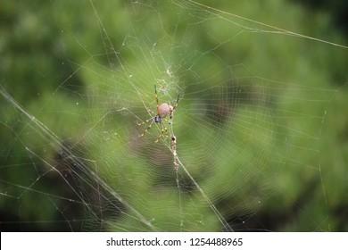 Golden Orb-Weaving Spider, Botanical Garden, Sydeny, Australia
